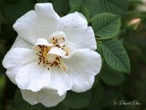 Heirloom White