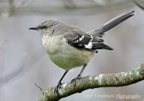 Mockingbird , Charlotte, NC