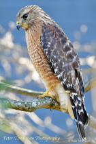 Red Shouldered Hawk 5, Charlotte, NC