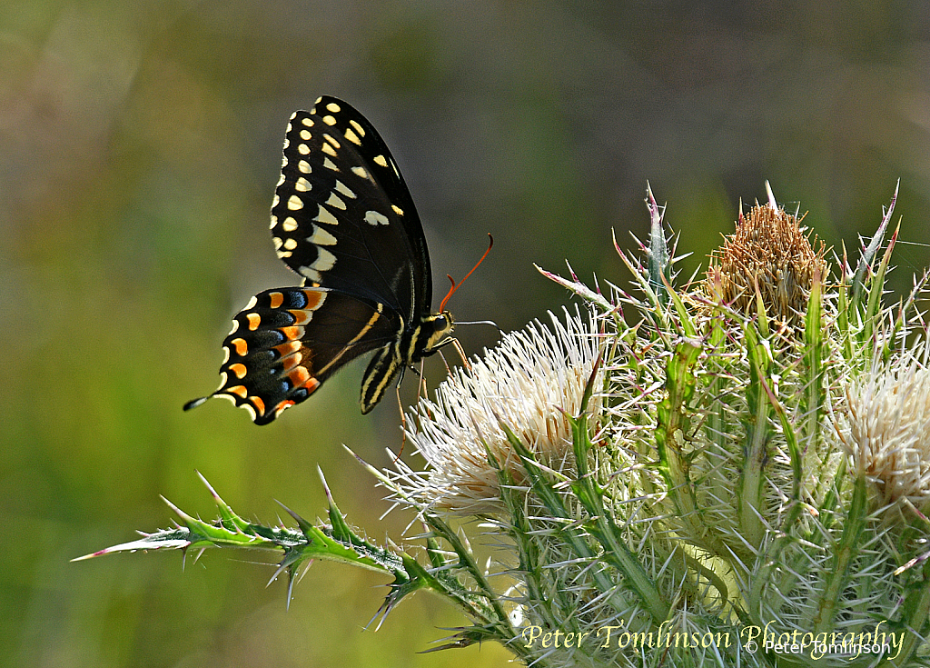 Black Swallowtail, South Carolina