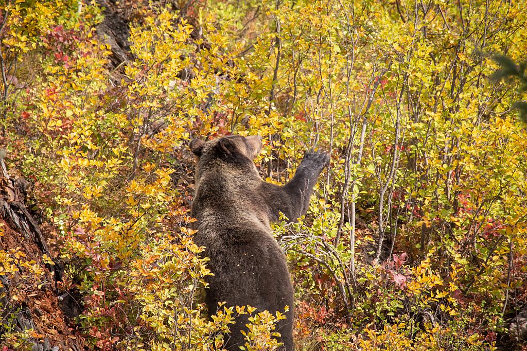 Bowman Bear - ID: 15810059 © KC Glastetter