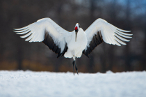 Red Crowned Cranes Taking a Courtsey