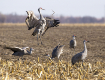 sandhill crane jump and toss