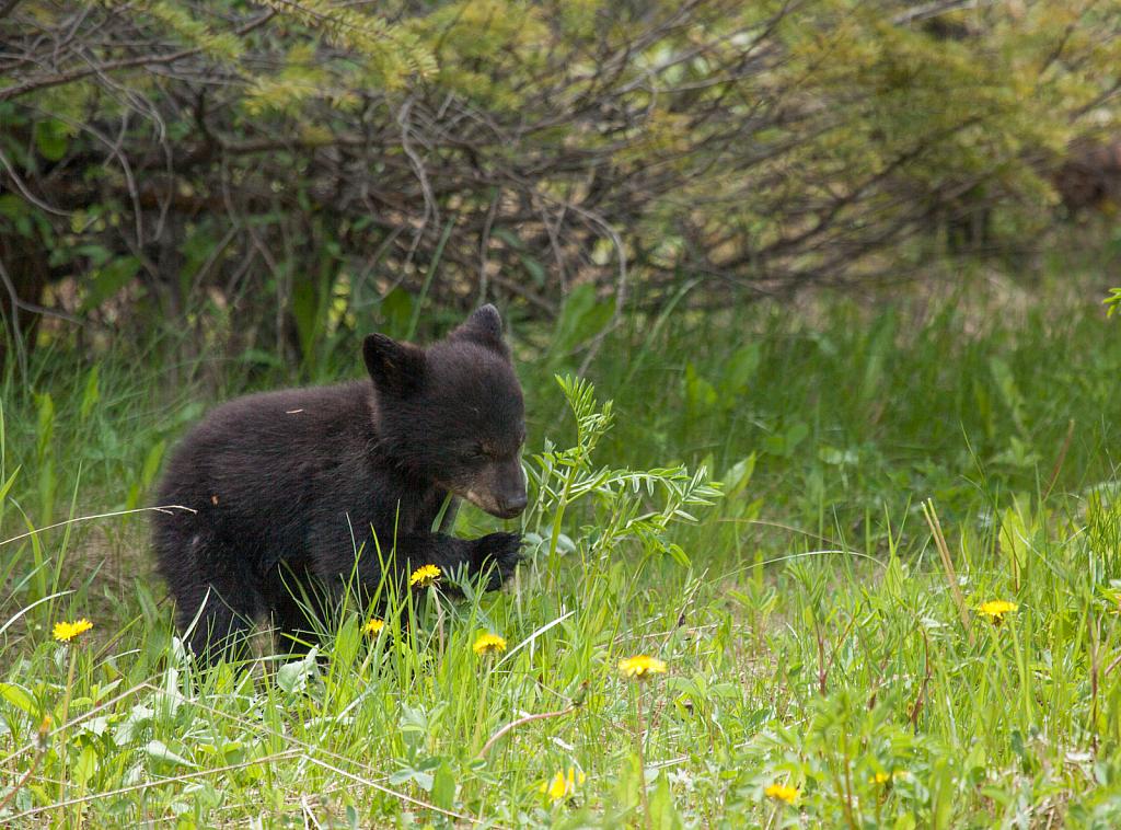 Baby Black Bear - ID: 15810118 © KC Glastetter