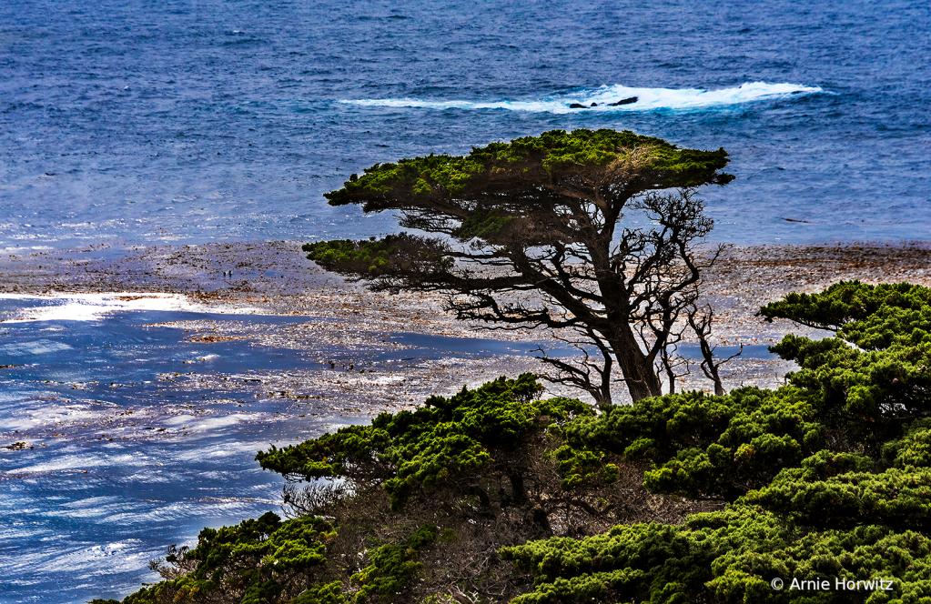 A Lone Cypress