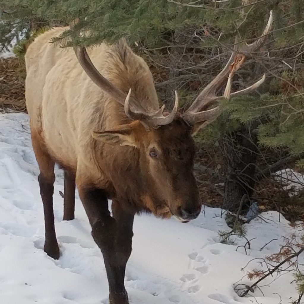 Wapiti (Elk) out for a stroll!