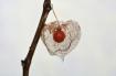 Bladder cherry fr...