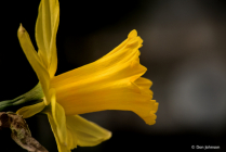Daffodil Profile 3-22-20 088