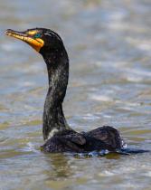 Double-crested Cormorant Breeding Plumage