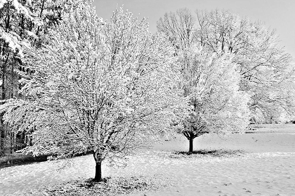 Snow on a Pear Tree