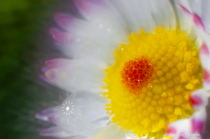 Secret of the Daisy