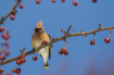 Waxwing in the Cr...