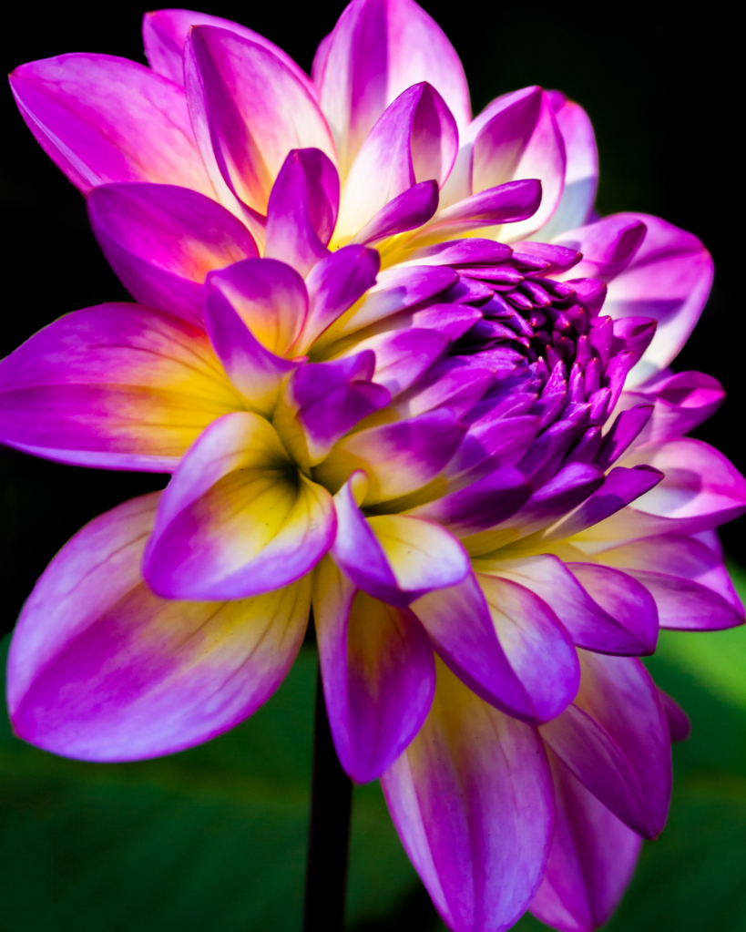 Dahlia in Bloom