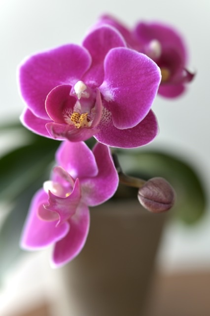 Orchid At Home - ID: 15811244 © Nora Odendahl