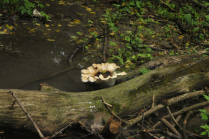 Mushroom In Creek