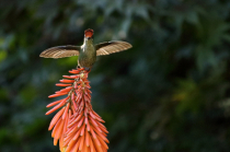 Green-backed firecrown on torch lily