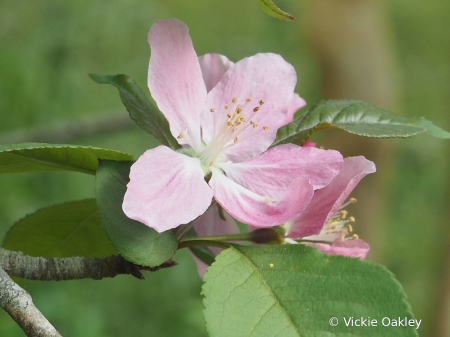 Crab Apple Spring Bloom