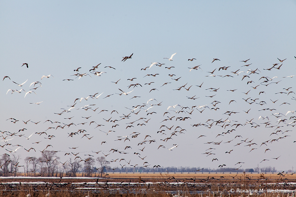 Migration of the swans - ID: 15811288 © Roxanne M. Westman