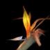 © Alice Kozar PhotoID # 15811422: Flaming Bird of Paradise