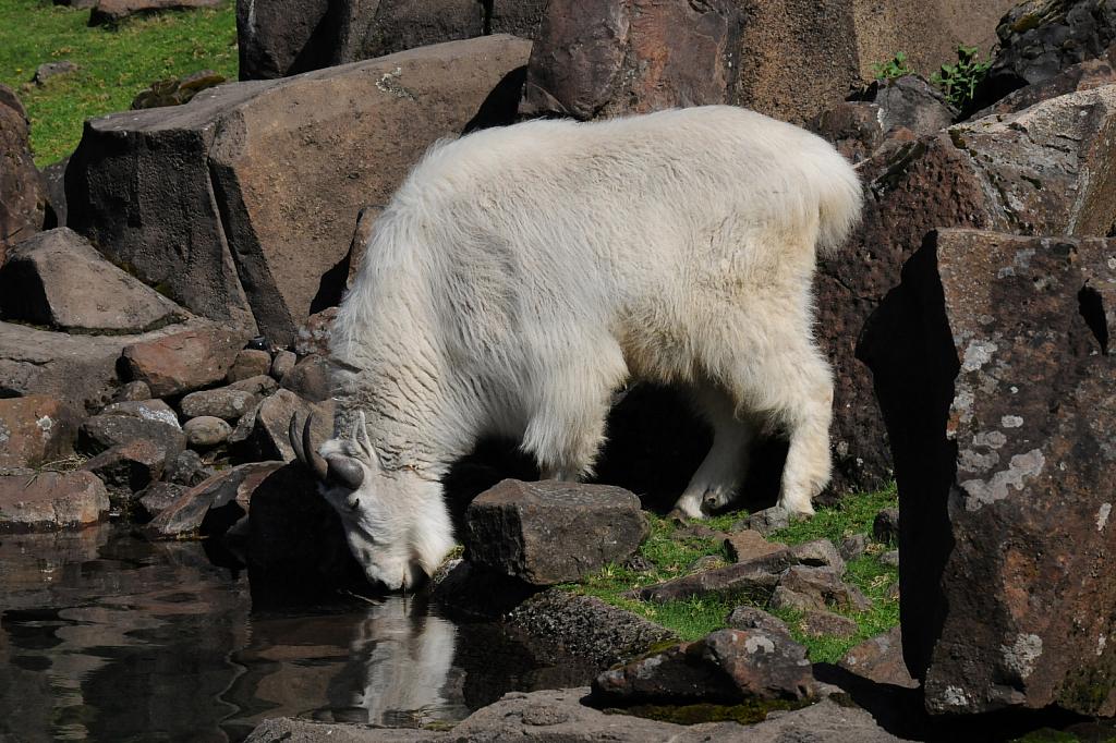 Mountain Goat - ID: 15812075 © William S. Briggs