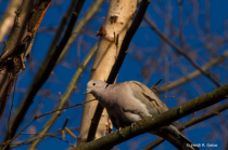 Dove Visiting