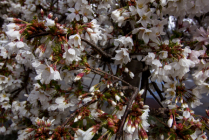White Weeping Cherry Blossom