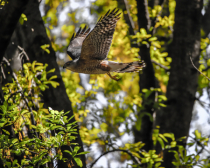 Hawk looking for a easy meal