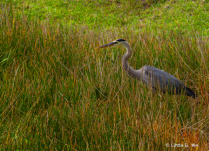Heron in the Tall Grass