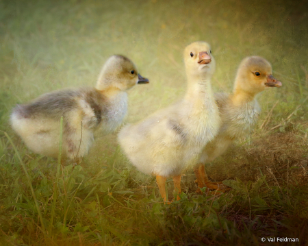 Three Little Goslings