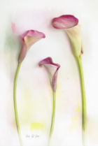 Colors of the Calla Lily