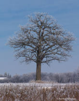 Lone Oak on a Wintry Morning