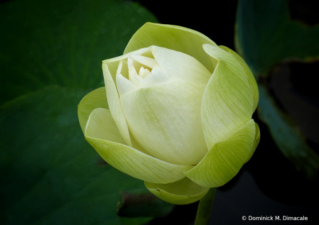 ~ ~ WHITE LOTUS BUD ~ ~