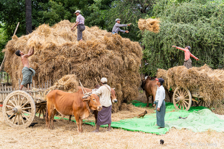Farmers collect the rice sheaf for threshing