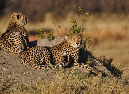 Botswana Cheetah Family