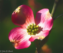Morning Light on the Dogwood Blossom