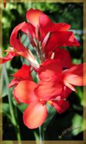 Multiple Blossom Red Flower