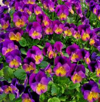Violet Clusters