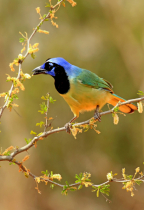 Green Jay in Yellow Flowers