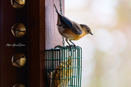 Mrs. Bluebird Is Hungry!