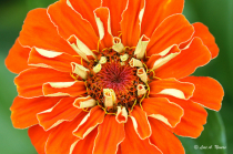 Orange Zinnia 2