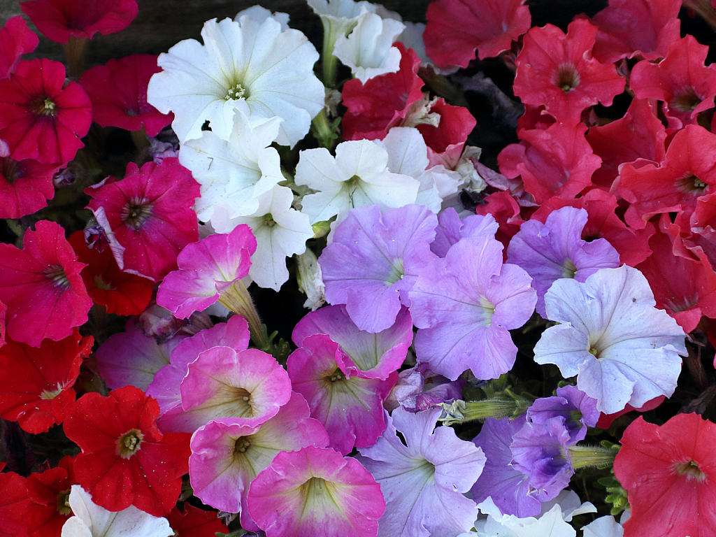 Colorful petunias