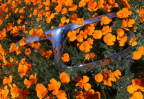 Chrome and Poppies