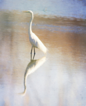 Painted Egret