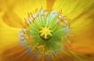Yellow Poppy Cent...