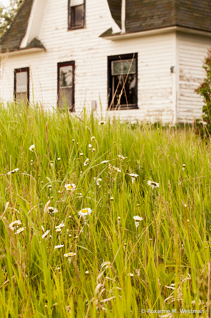 Daisies keeping watch over abandoned house