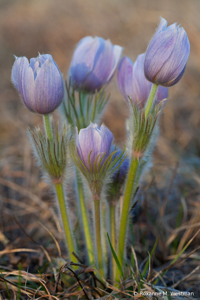 Crocus on the prairie - ID: 15814692 © Roxanne M. Westman