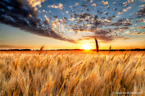 North Dakota wheat field and sunset