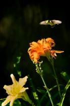 Hummingbird and Lilies