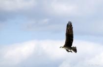 Ospery Flying Over Marsh