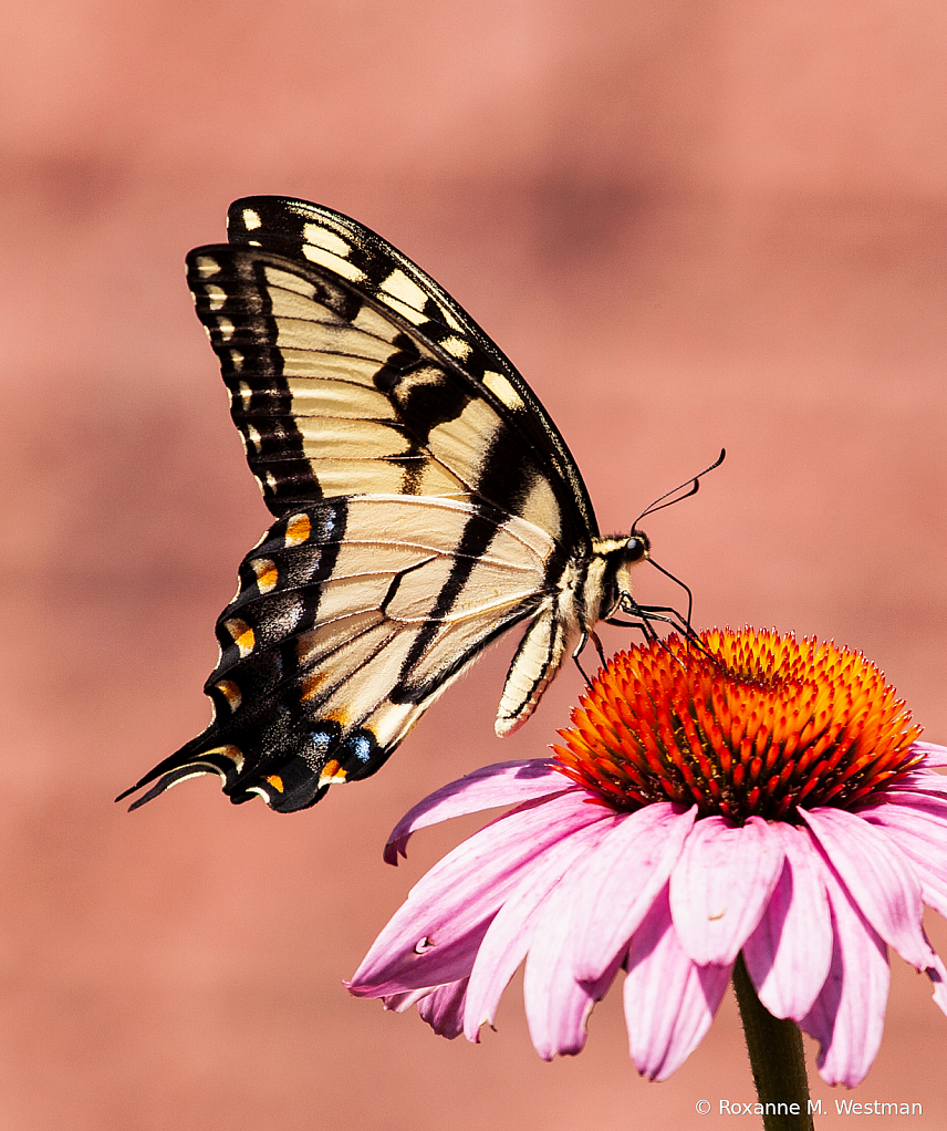 Swallowtail butterfly on coneflower - ID: 15814821 © Roxanne M. Westman